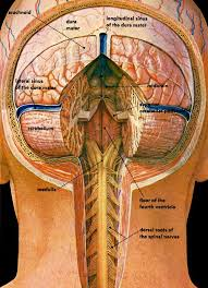 Pictures Of The Anatomy Of The Human Body Best 25 The Human Brain Ideas Only On Pinterest Human Brain