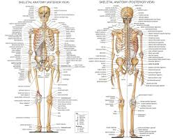 human anatomy skeleton anatomy coloring pages human skeleton