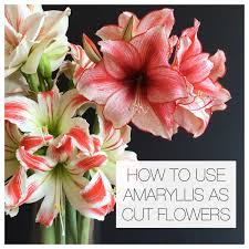 amaryllis flower to use amaryllis as cut flowers longfield gardens