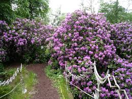 Flowering Privacy Shrubs - trees and shrubs product range caerphilly garden centre cardiff