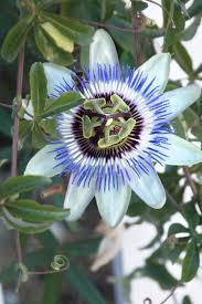 native plants passionflower vine grows blue passion vine monrovia blue passion vine