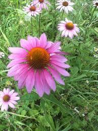 flower plants organic heirloom plants perennial flowers organic heirloom flower plants