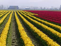 skagit valley tulip festival bloom map it s confirmed tulips are blooming in the skagit valley
