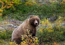 Alaska Wild Animals images Stop reckless slaughter of wild animals in alaska 39 s wildlife refuges jpg