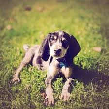 bluetick coonhound puppies joplin mo very intelligent devoted a good companion the bluetick