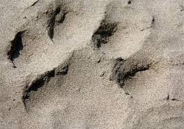 tiger paw print in the sand sundarbans national park photo