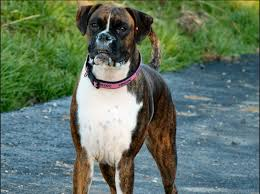 boxer important information about average lifespan of a boxer dog