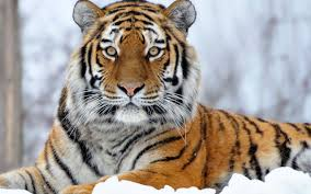 1246 tiger hd wallpapers backgrounds wallpaper abyss page 5