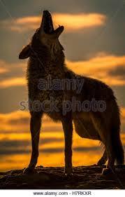 belgian shepherd howling coyote canis latrans howling stock photos u0026 coyote canis latrans