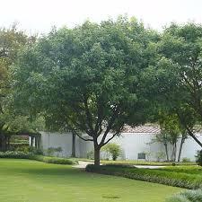 pistache pistacia chinensis trees