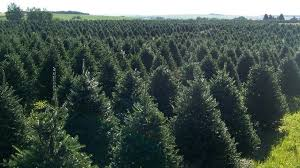 christmas trees worldwide buy one or a million