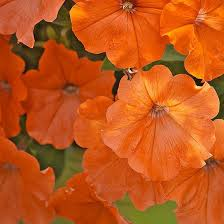 12 Best Annual Flowers For by 42 Best Petunia Images On Pinterest Petunias Flowers And Gardening