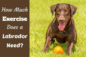 how much exercise does a labrador need