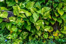 philodendron poisoning in cats symptoms causes diagnosis
