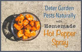 homemade garden bug spray natural pepper solution