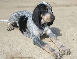 bluetick coonhound gascon life span of grand gascon saintongeois