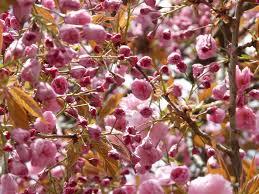 free photo japanese flowering cherry japanese cherry trees max pixel