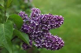 my blooming lilacs the martha stewart blog