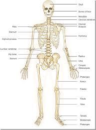 photos human skeletal system worksheet anatomy labelled