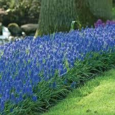 perennial flower bulbs garden plants u0026 flowers the home depot