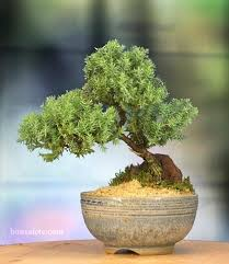 juniper bonzai juniper bonsai tree green mound juniper bonsai
