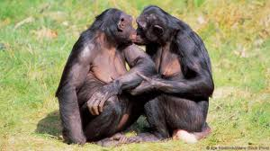bbc earth do bonobos really spend all their time having