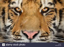 siberian tiger detail aggressive stare look meaning danger for