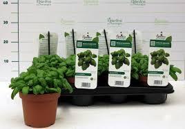basilico in vaso malattie piante di basilico genovese in vaso