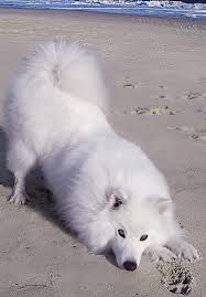 american eskimo dog tricks best 25 american eskimo dog ideas on pinterest american eskimo