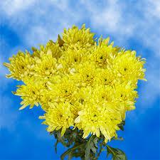 Yellow Pom Pom Flowers - chrysanthemum pompoms global rose