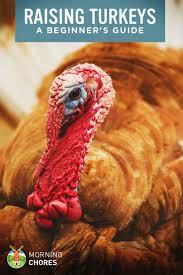 beginner u0027s guide to raising turkeys in your backyard for meat and