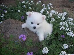 american eskimo dog apartment american eskimo dog wallpapers hd download