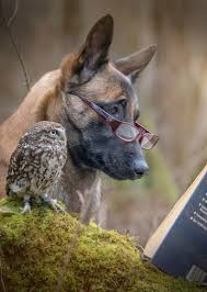 belgian shepherd headbutt google look mr owl dogs pinterest owl dog and animal