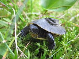 thinkingturtles field stories and thoughts about turtle
