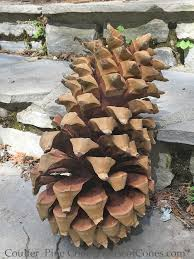 coulter pine cones are the largest cone of any pine tree