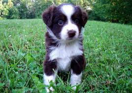 8 week old mini australian shepherd june 2007 mini aussie puppies u2014 breezemore
