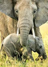 asian elephant african facts 2015 wildlife wallpaper free photos