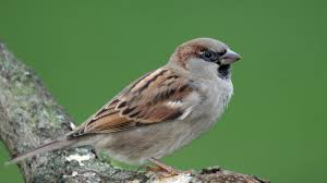 Sparrow by House Sparrow Passer Domesticus On Vimeo