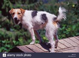 dog wirehaired parson jack russell terrier standing on roof of