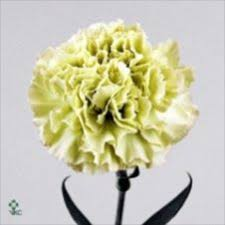 wholesale carnations carnations green wholesale carnations cars flowers
