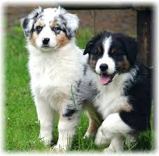 australian shepherd 2 months australian shepherd dog breed information and pictures