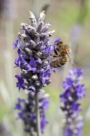 Flowers Bees Pollinate - herbs for honeybees u2013 creating a bee friendly herb garden