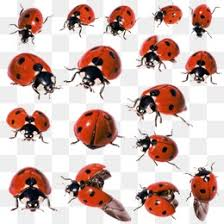 Ladybug Resume Ladybugs Png Vectors Psd And Icons For Free Download Pngtree