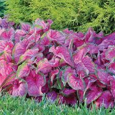 caladium flower bulbs garden plants u0026 flowers the home depot
