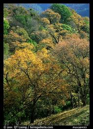 picture photo oak trees fall colors sunol regional park