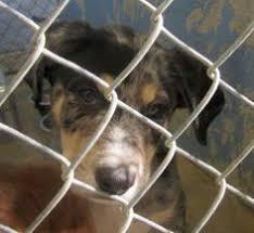 bluetick coonhound westminster hound bluetick coonhound dog show 2016 westminster kennel club