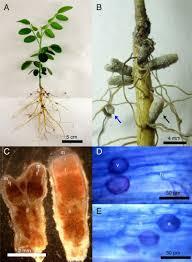 tripartite symbiosis of sophora tomentosa rhizobia and arbuscular