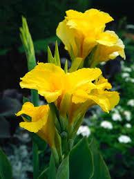 Canna Lilies Canna Planting Choices Growing Canna Lily Hgtv
