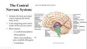 Brainstem Mass Medulla Oblongata Anatomy Image Collections Learn Human Anatomy