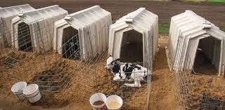 Calf Hutches For Sale Minimize Heat Stress For Healthy Calves Progressive Dairyman